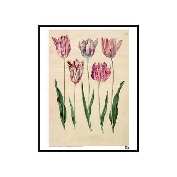Holtzbecker, Have tulipan