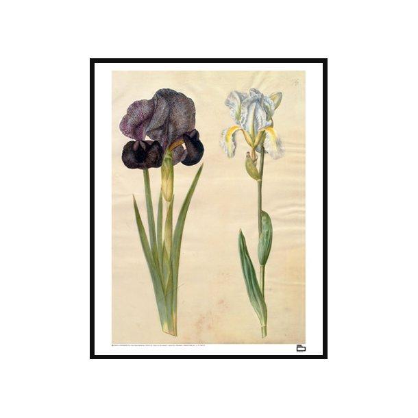 Holtzbecker, Sørge-iris og violrod