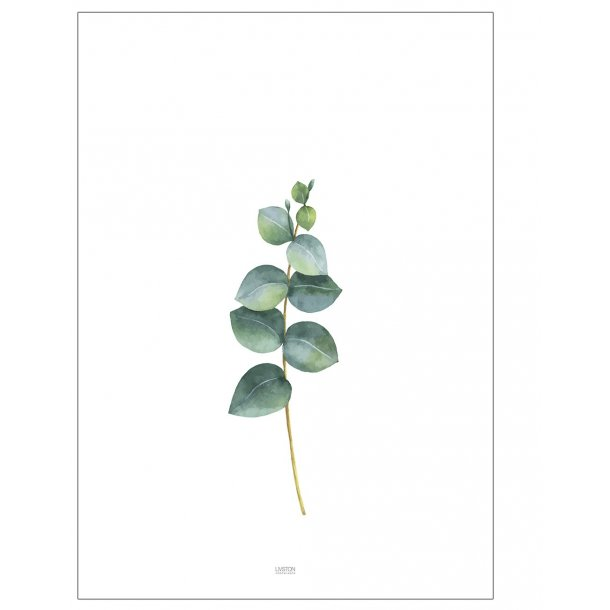 Eucalyptus blomsterplakat