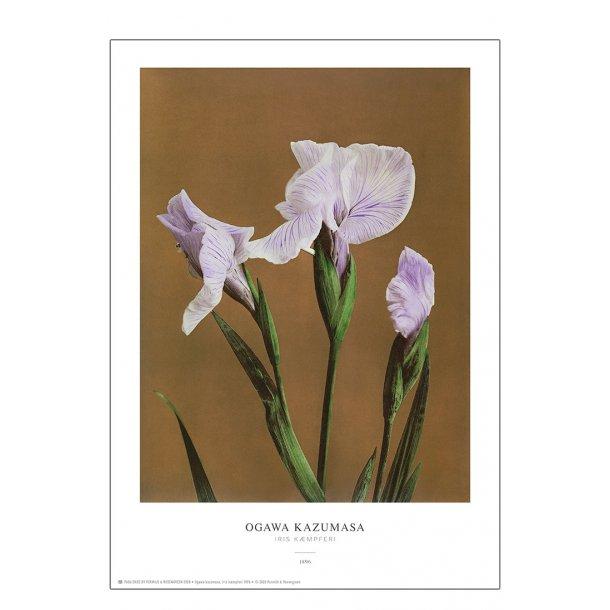 Ogawa Kazumasa - Iris brun
