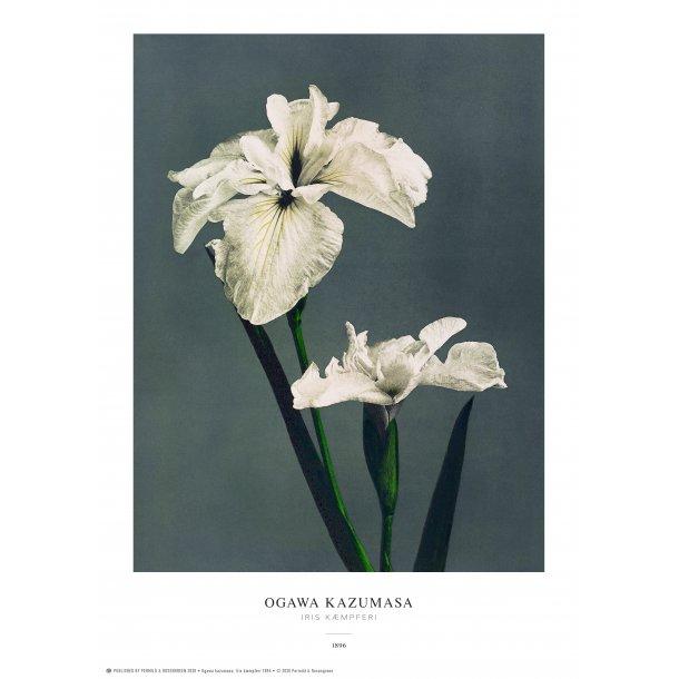 Ogawa Kazumasa - Iris grå