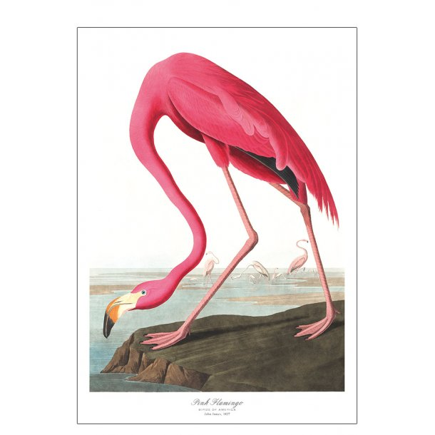 Birds of America – Pink Flamingo